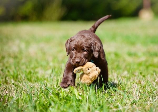 lab puppy_93853