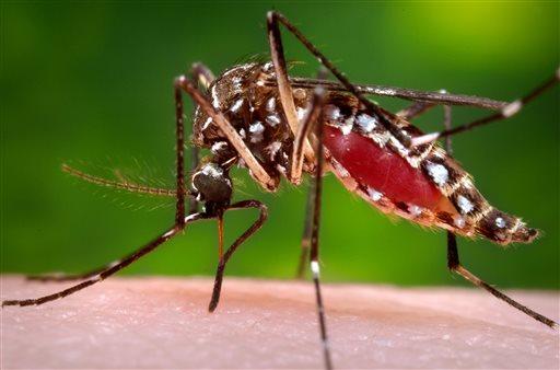 Aedes aegypti mosquito_250605