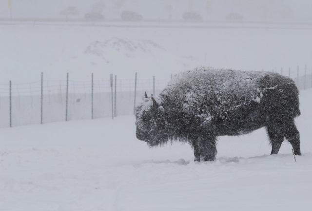 Bison AP_275926
