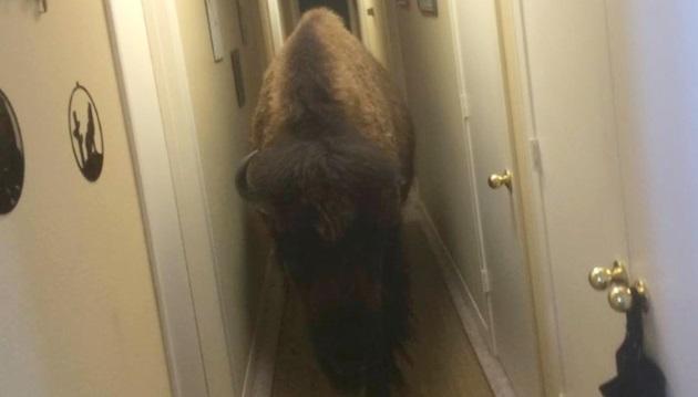 Bison on craigslist_283794