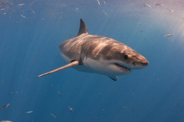 shark_108876