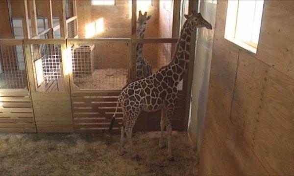April the Giraffe_403903