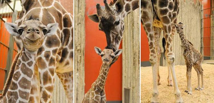 Dobby the giraffe_407702