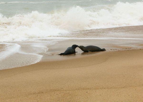 seals kissing_530803