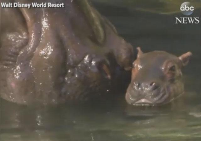2018-01-23-Disney-Baby-Hippo_605640