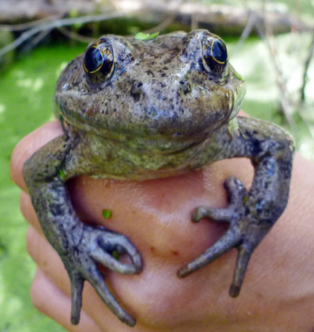 3.22-rare-frog_420638