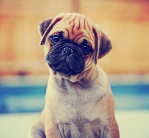 Dog-Pug-Generic_432061