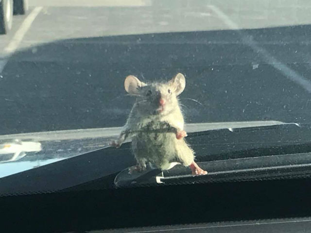 mouse on windshield_621325