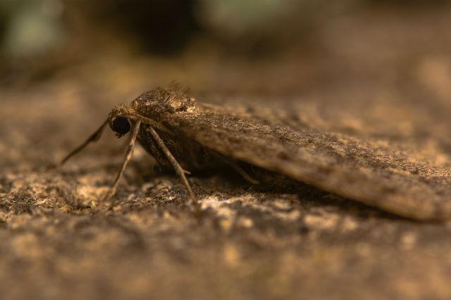 winter moth_630887