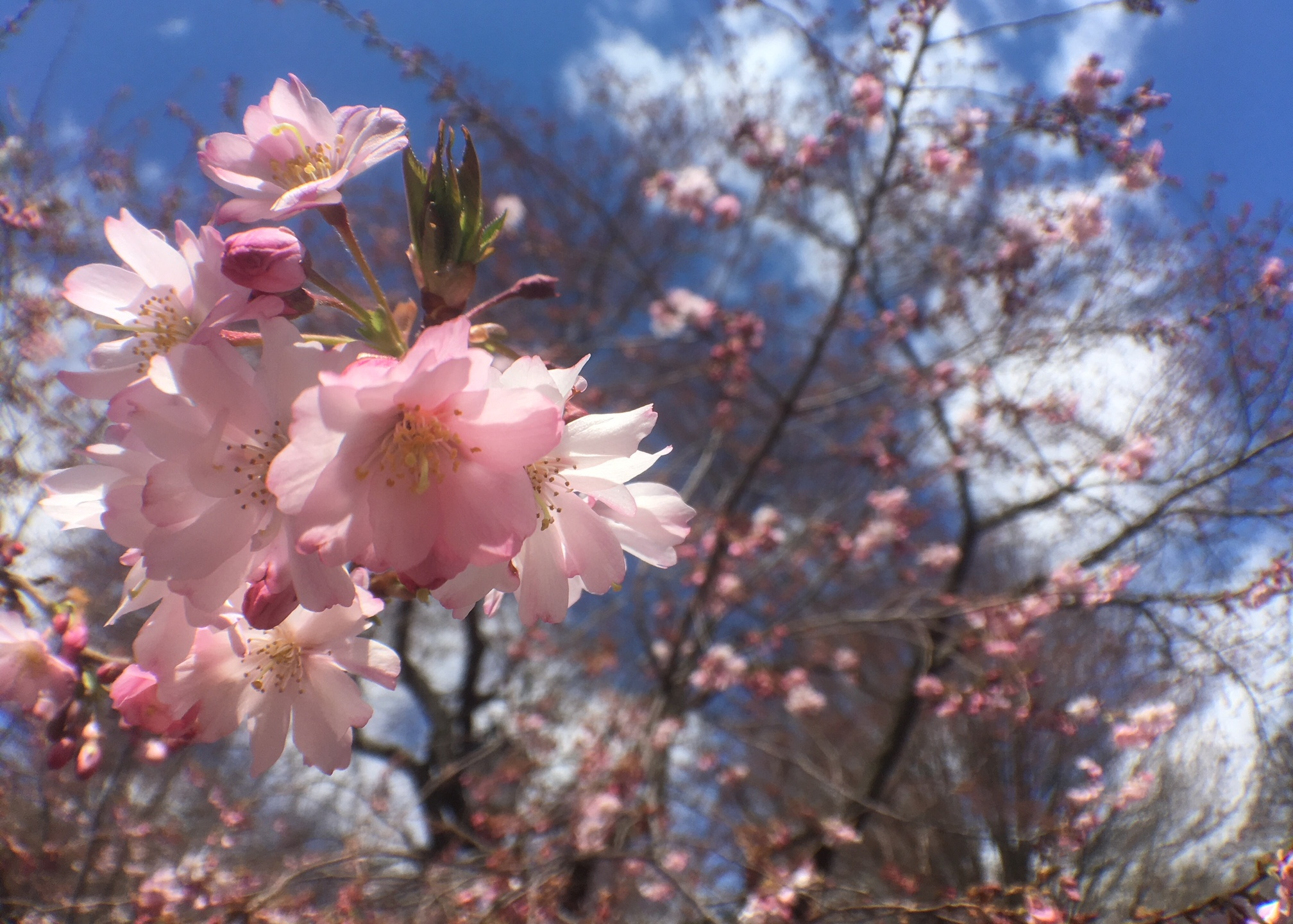 New Haven Wooster Square Park Cherry Blossoms 3