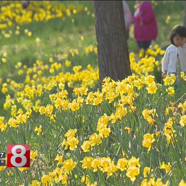 Leaving winter behind: Connecticut comes out of hibernation at Meriden's Daffodil Festival