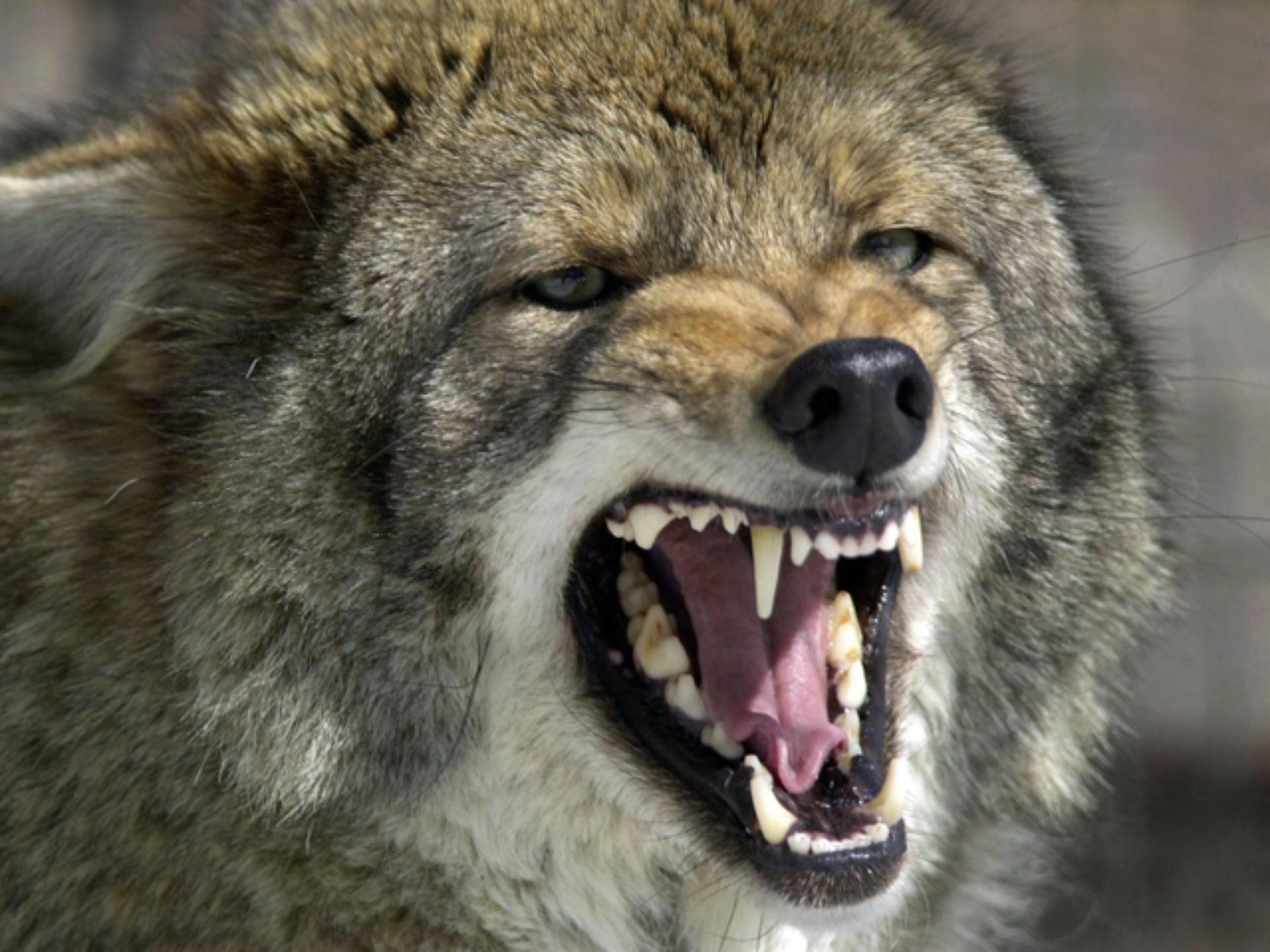 coyote_1523546660347.jpg