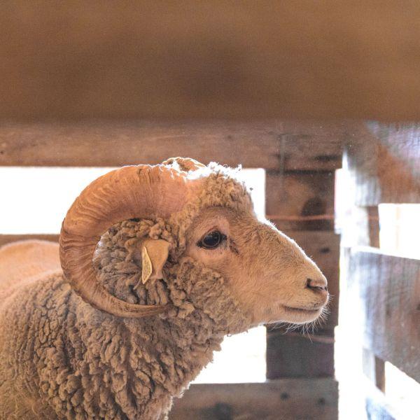 sheep1_1524788118136.jpeg