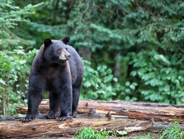 Black Bear Shutterstock_256107