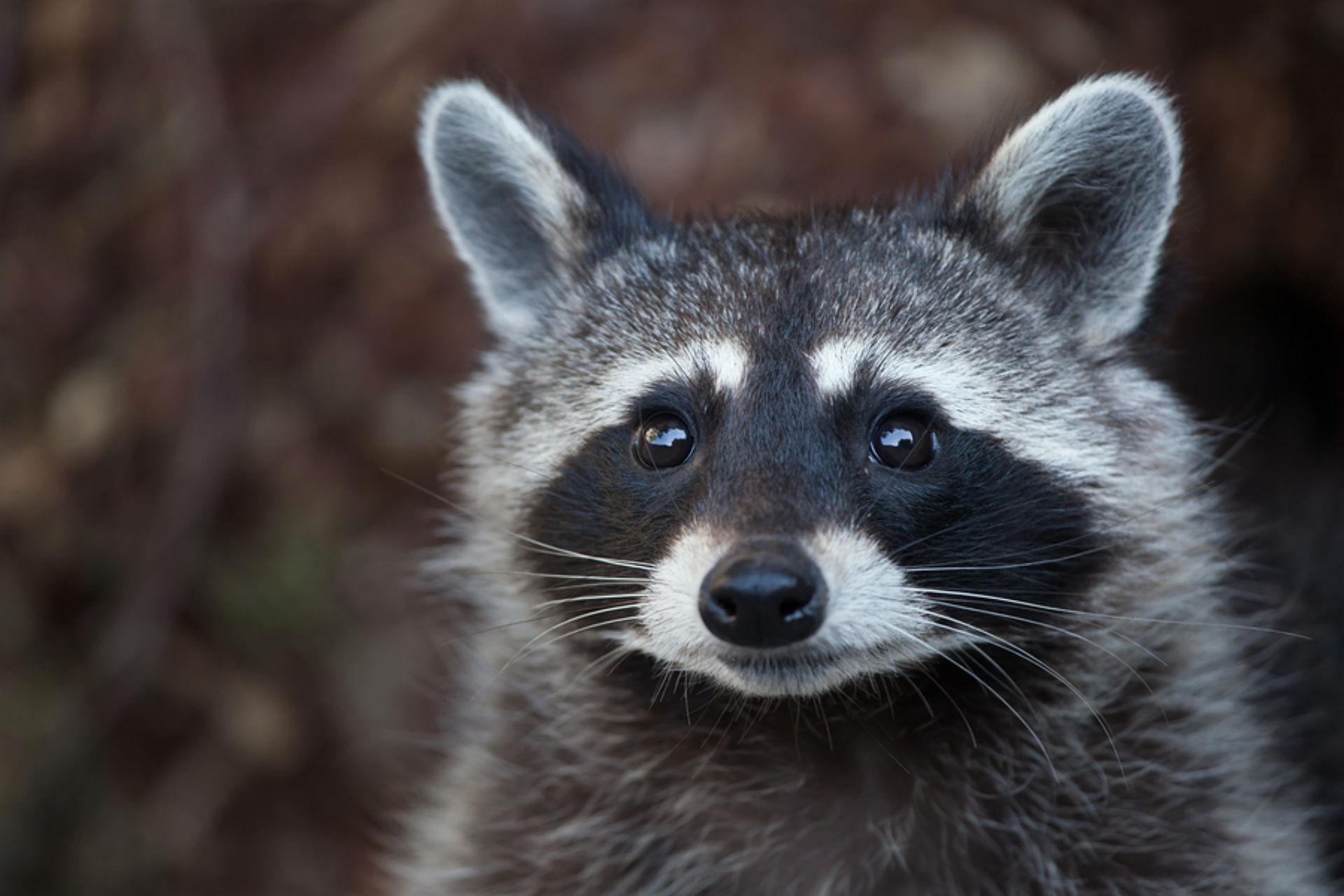 raccoon _1526475133615.jpg.jpg