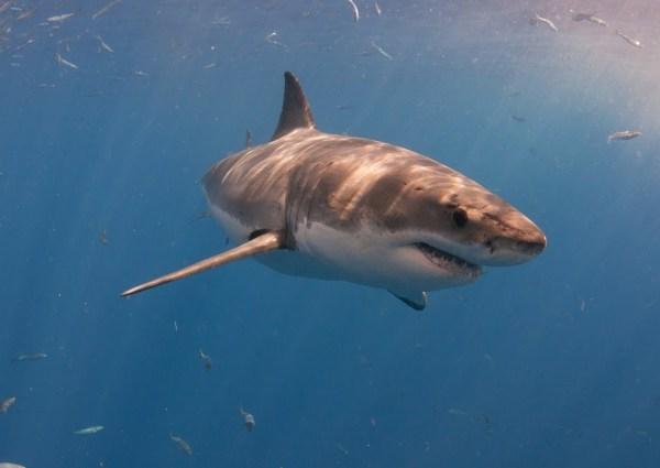 great white shark_1522240346777.jpg