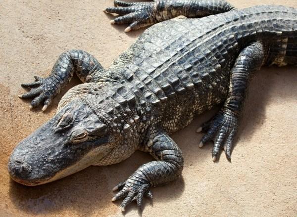 alligator_96498