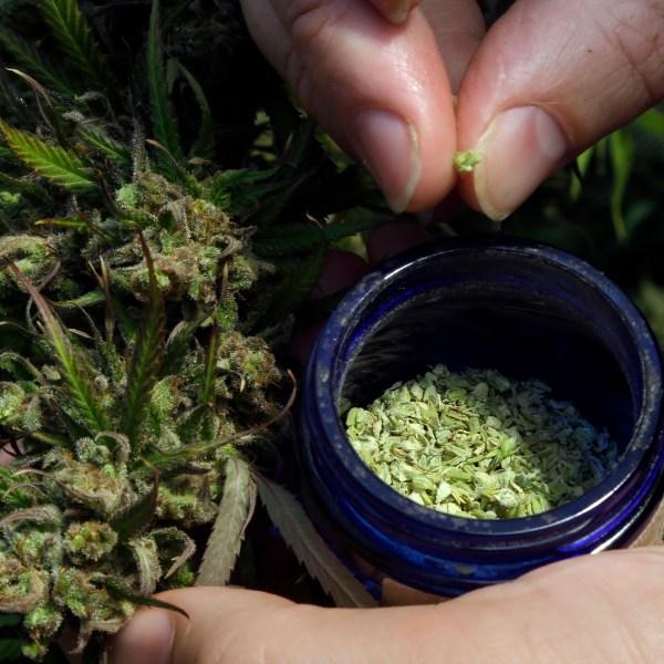 Marijuana_to_Hemp_CBD_Boom_96541-159532.jpg66500932