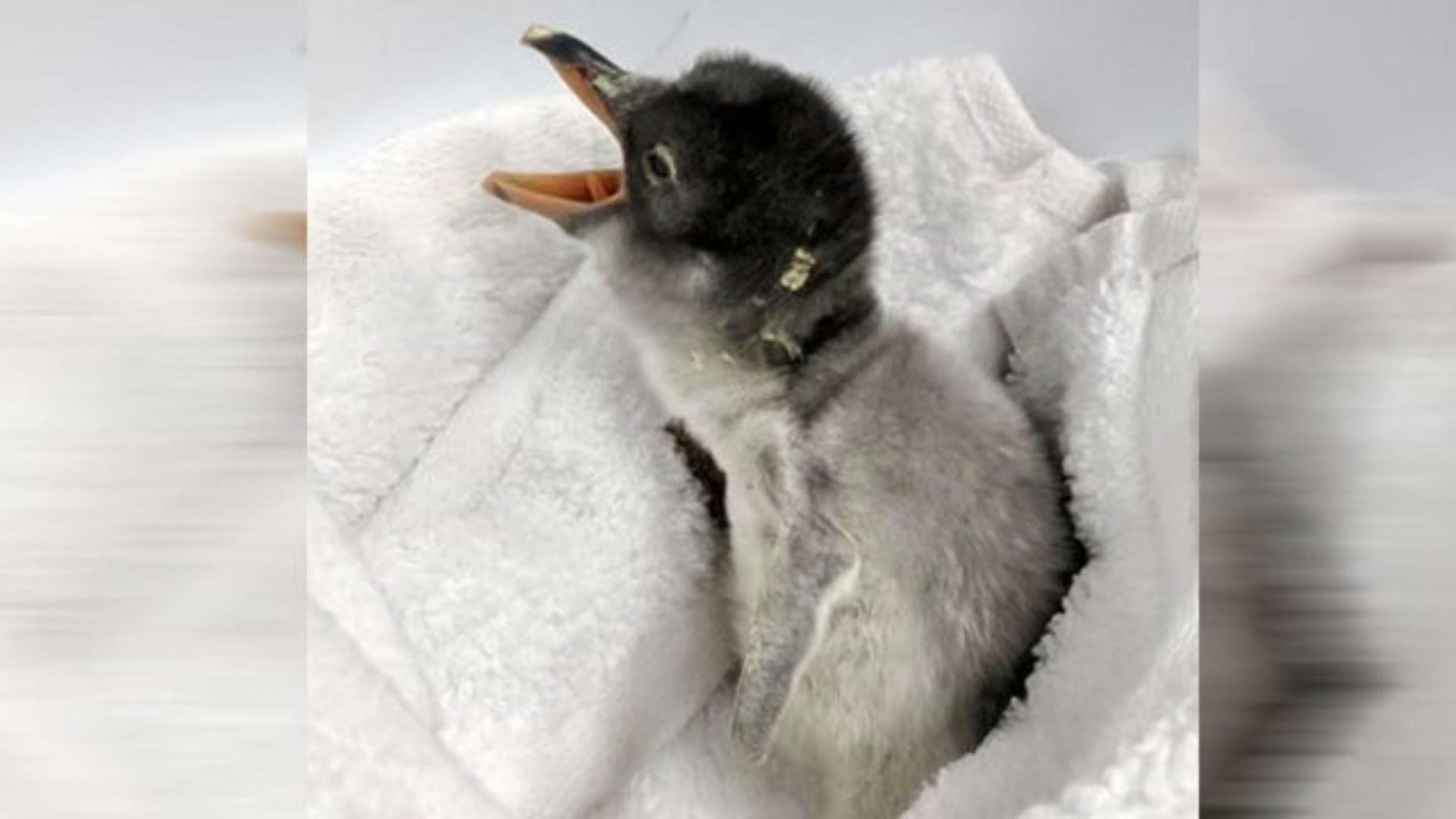 penguin baby_1540553537235.JPG.jpg