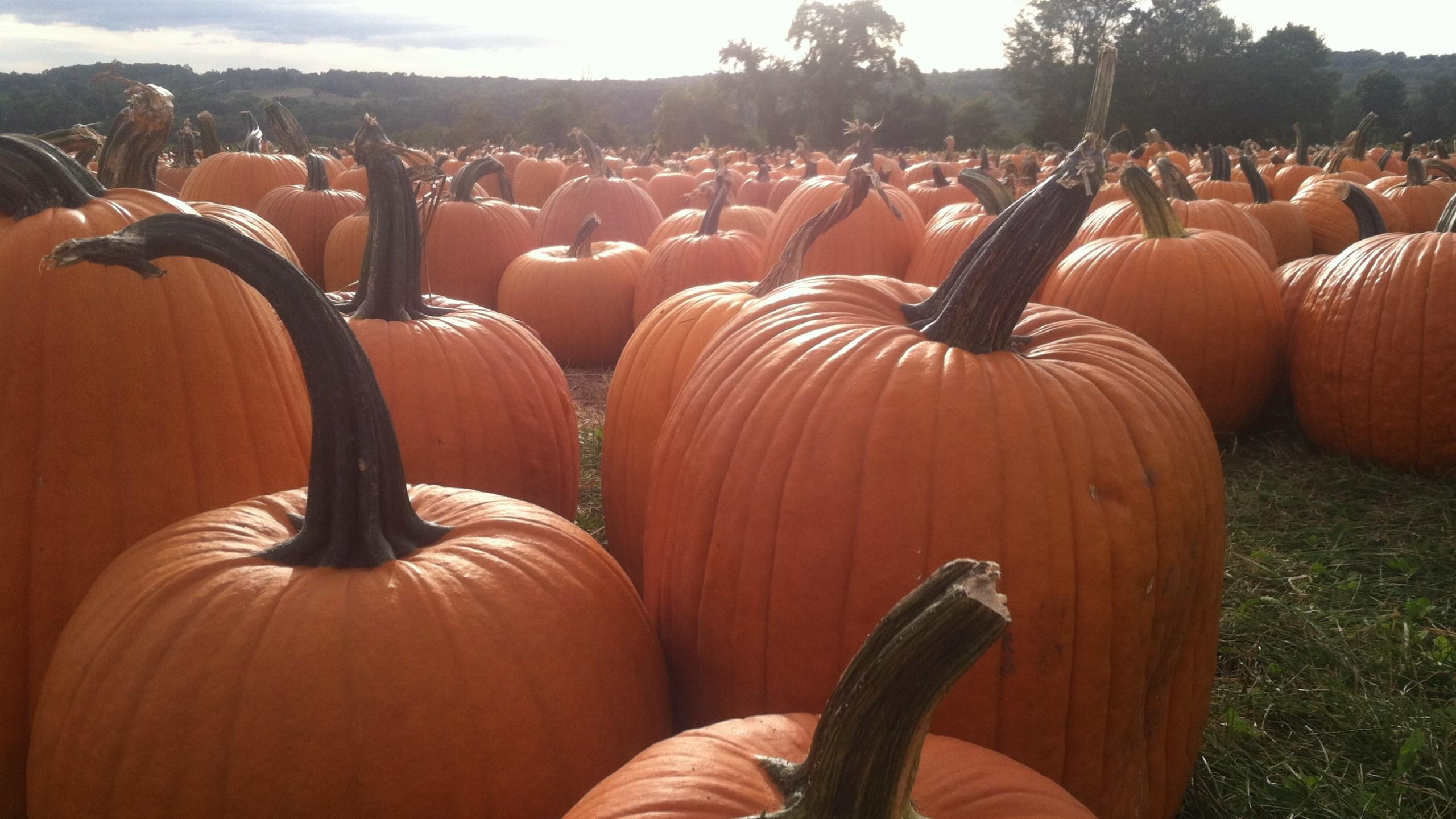 pumpkins at jones farm in shelton by josh scheinblum_174519