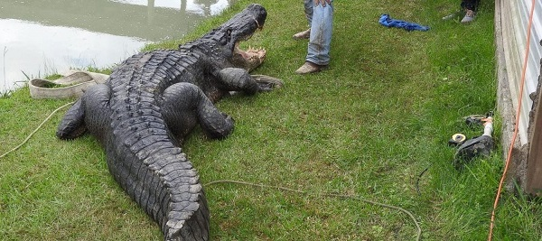 ht_alligator_er_161013_31x13_1600_344605