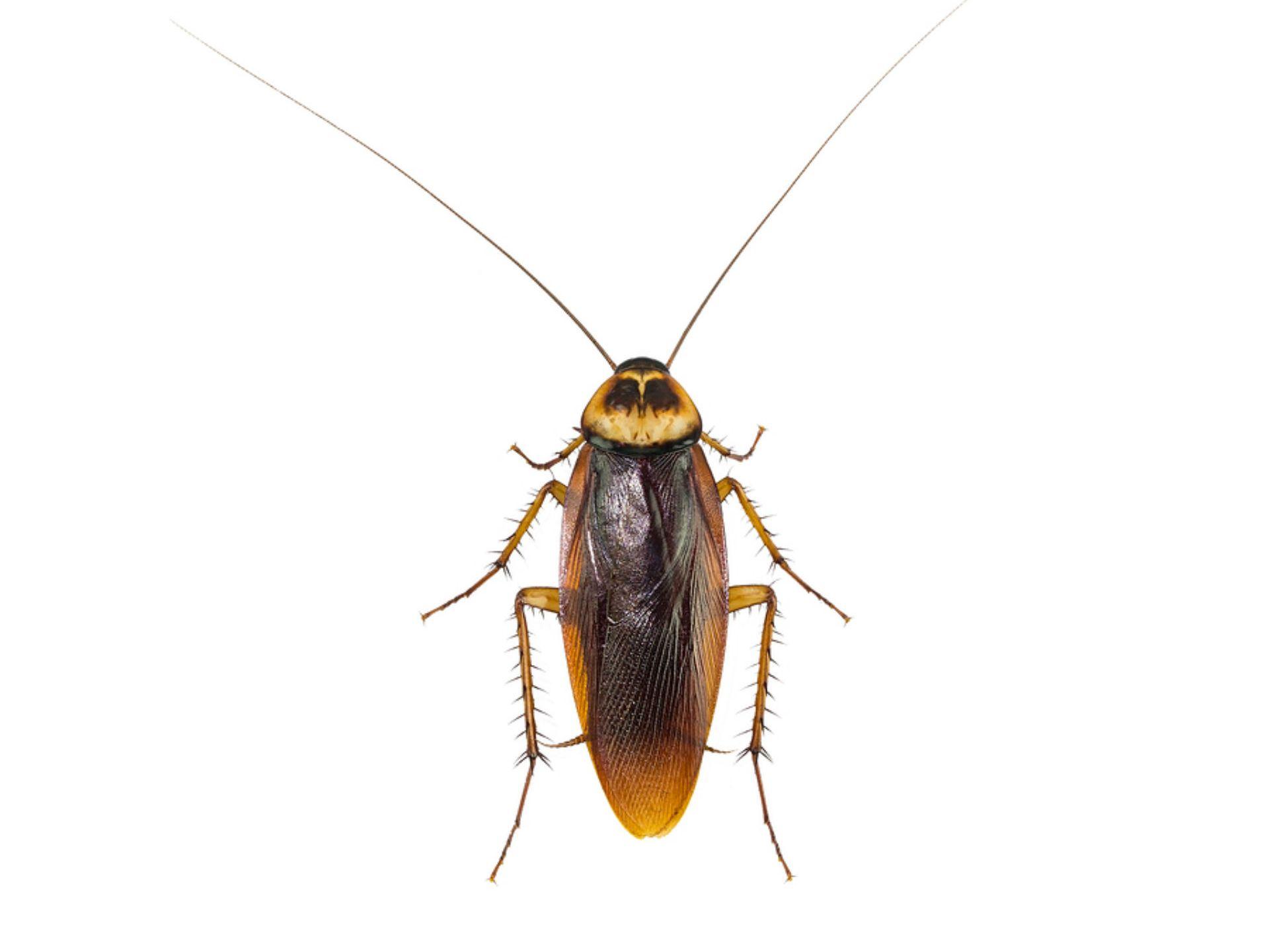 cockroaches _1549634951470.jpg.jpg