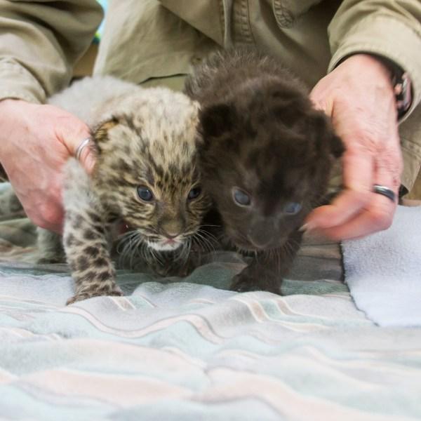 2019-03-07 beardsley zoo rare cats amur leopard cubs_1551977031226.jpg.jpg