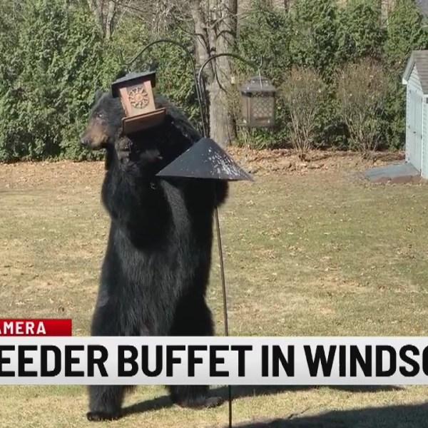 Report-It: Bear in Windsor