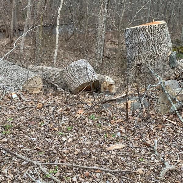 dead trees gypsy moth caterpillars 4_1553544553924.jpg.jpg