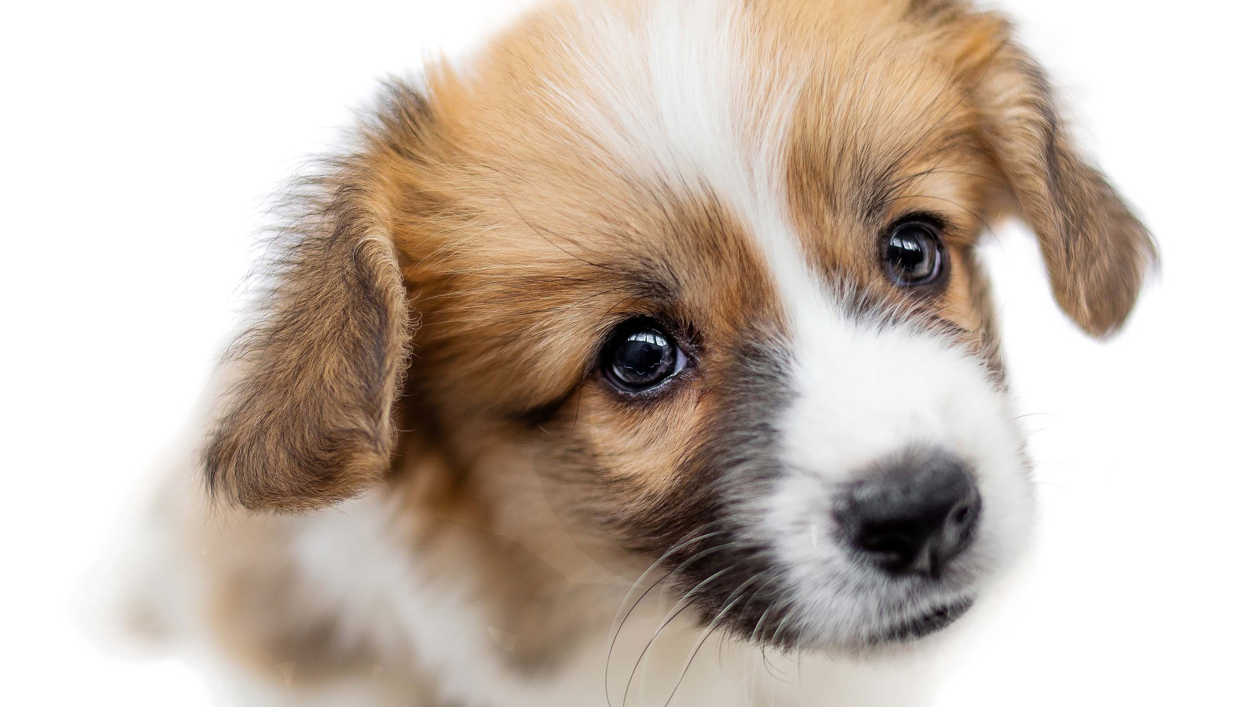 Cute Puppy Welsh Corgi Pembroke  Is Looking At Camera And Beggin_1553269747461
