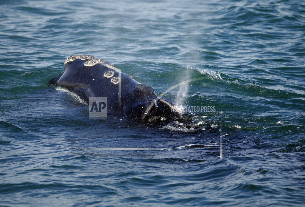 Right Whale Protection_1556280411547