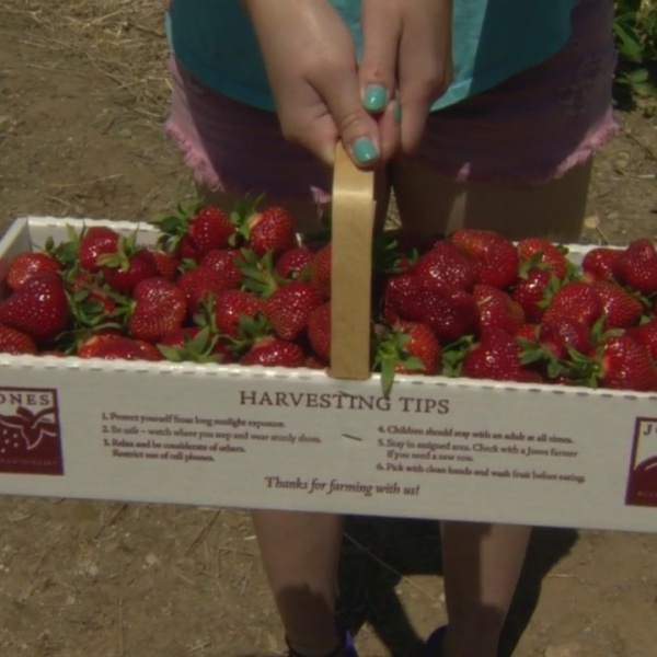 Strawberries ready for picking at Jones Family Farms